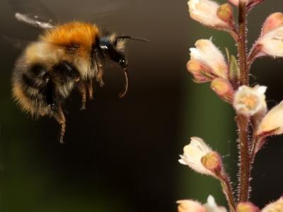 bumblebee_heuchera